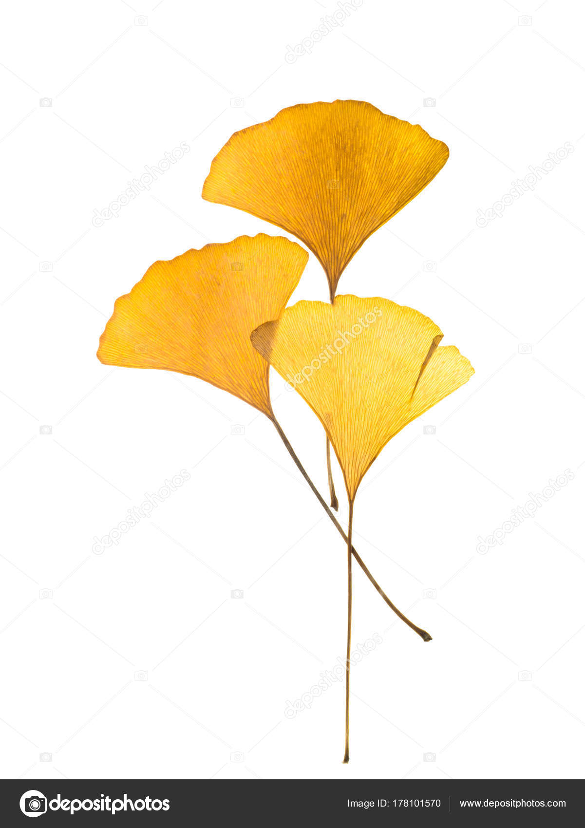 dried ginkgo leaves stock photo noppharat th 178101570