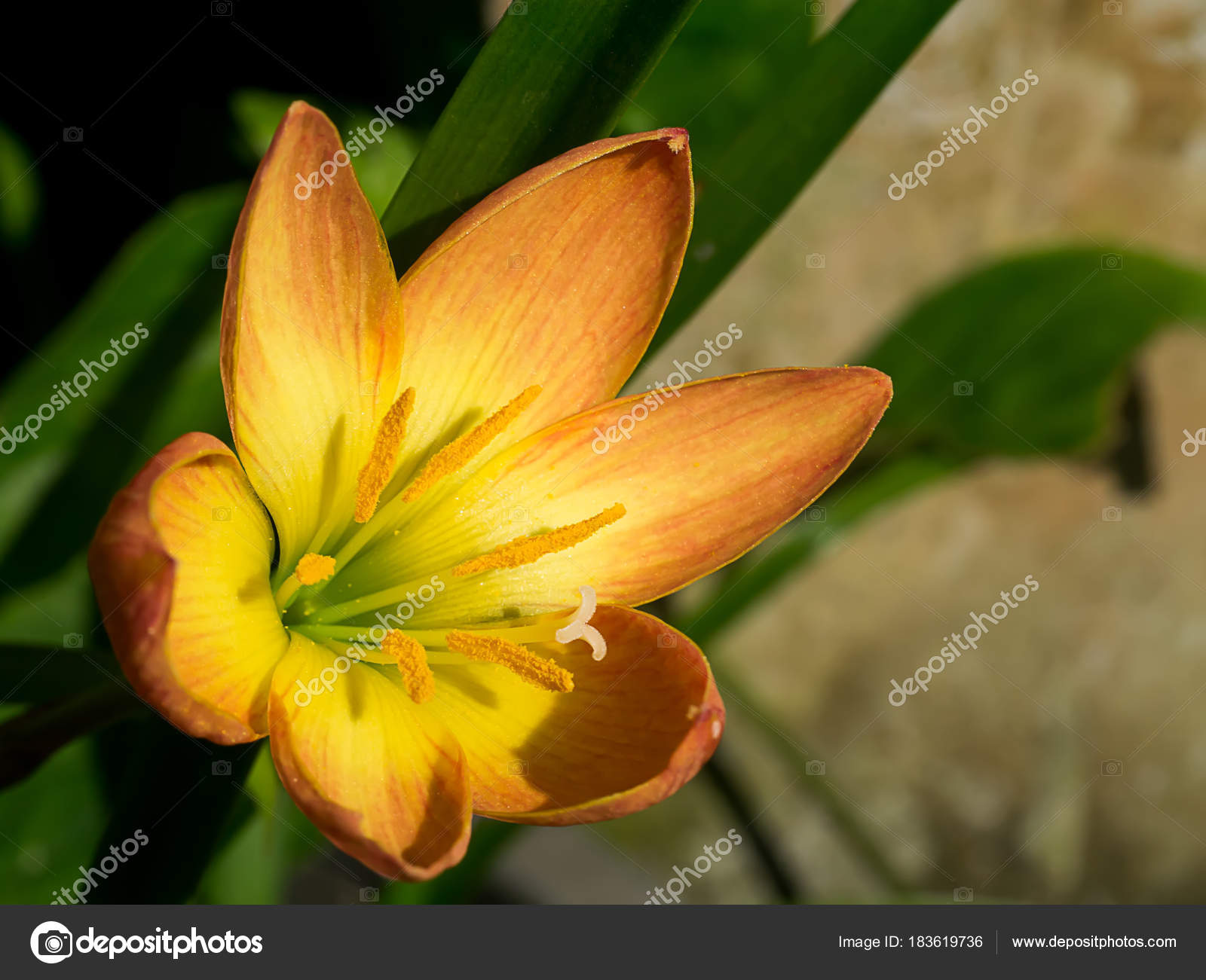 Beautiful Rain Lily Flower Stock Photo Noppharatth 183619736