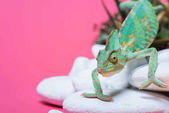 close-up view of beautiful exotic chameleon crawling on stones isolated on pink