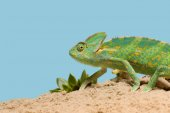 Photo side view of beautiful exotic chameleon on sand with succulents isolated on blue