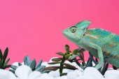 Photo side view of cute colorful chameleon on stones with succulents isolated on pink