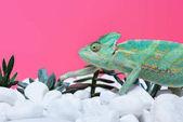 Detailní pohled roztomilé barevné chameleon na kamenech se sukulenty izolované na růžové