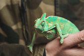Oříznout záběr člověka drží krásné barevné chameleon