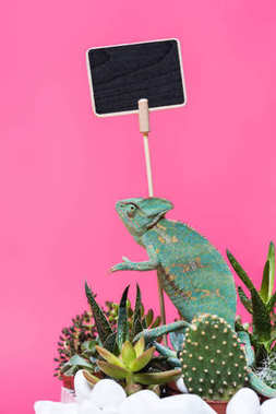 beautiful exotic chameleon near blank board isolated on pink