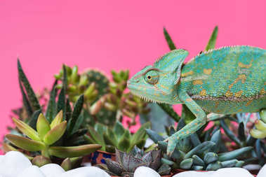 side view of cute colorful chameleon crawling on stones and succulents isolated on pink