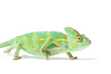 Close-up view of beautiful tropical chameleon isolated on white stock vector