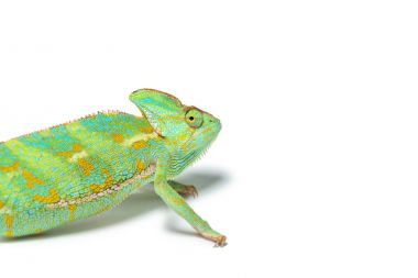 close-up view of cute tropical chameleon isolated on white