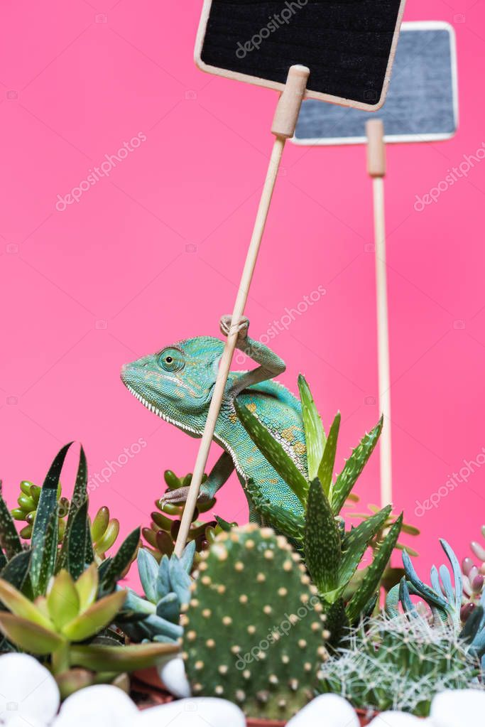 beautiful colorful exotic chameleon with blank signs and succulents isolated on pink