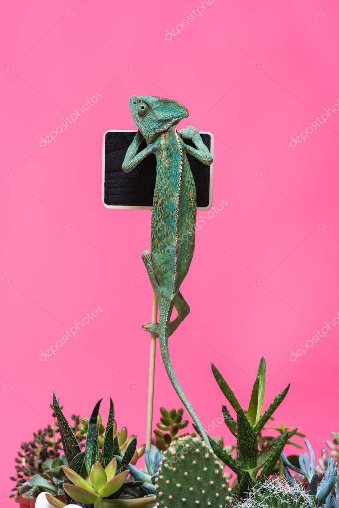 funny chameleon crawling on blank board isolated on pink
