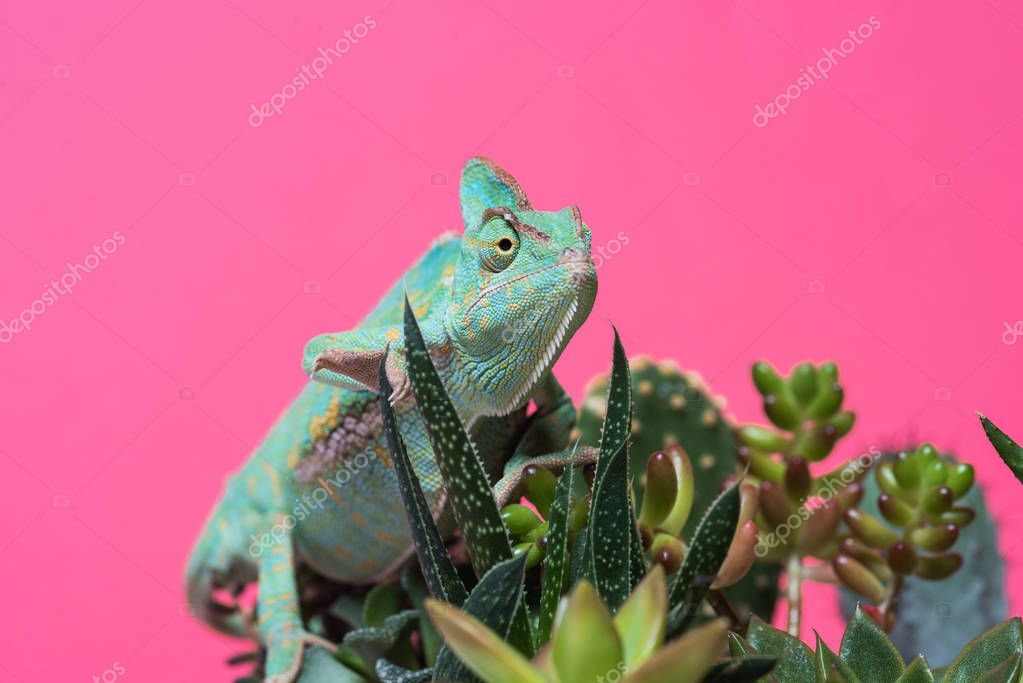 close-up view of chameleon crawling on succulents isolated on pink