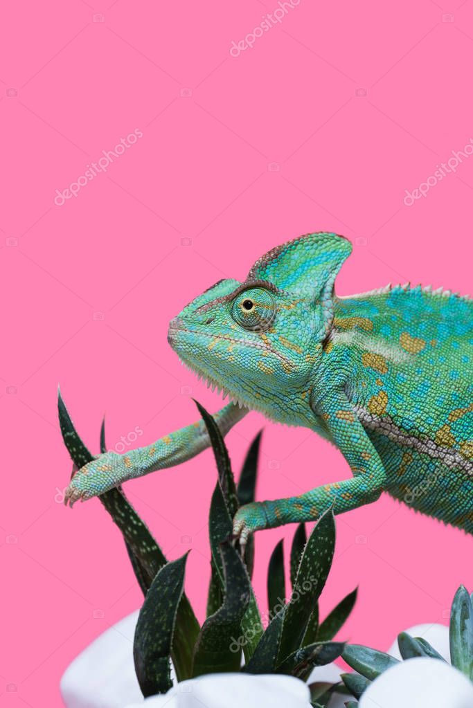 close-up view of beautiful colorful chameleon crawling on stones with succulents isolated on pink