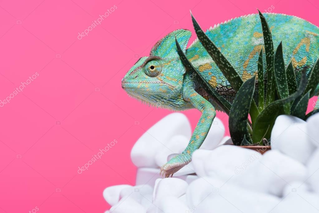 side view of beautiful exotic chameleon on stones with succulents isolated on pink