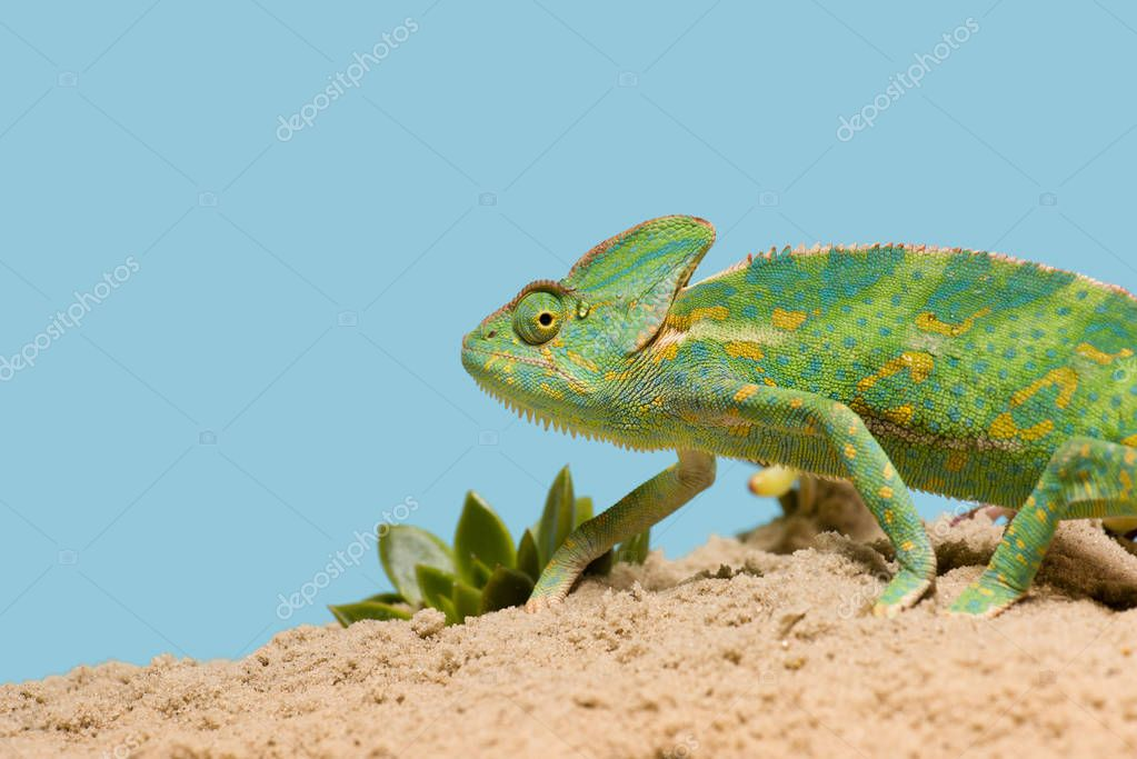 side view of beautiful exotic chameleon on sand with succulents isolated on blue