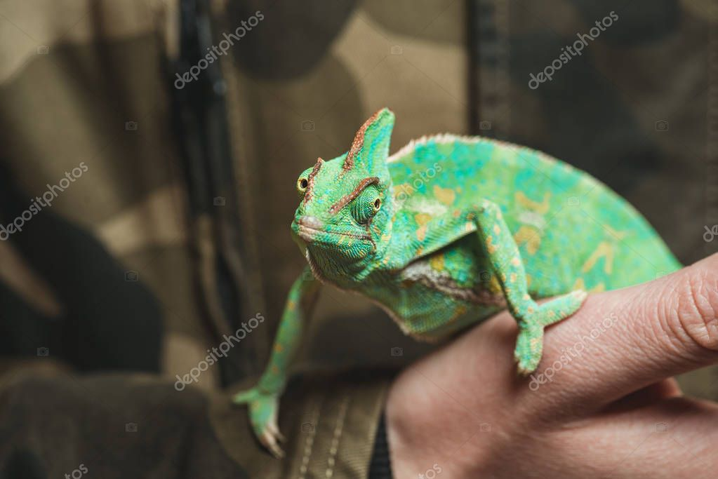 cropped shot of man holding beautiful colorful chameleon