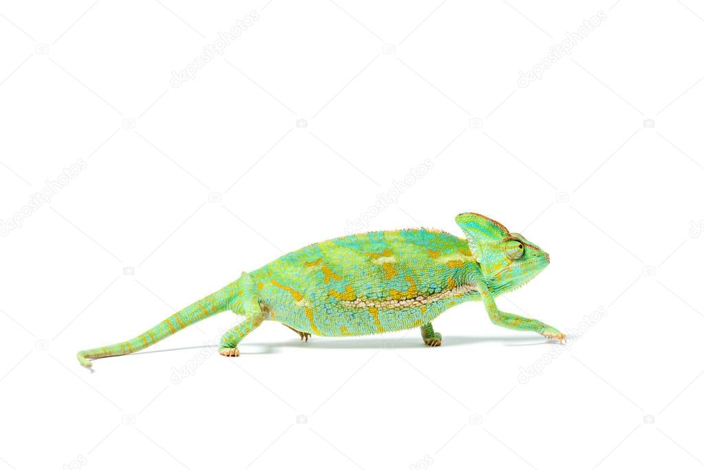 close-up view of beautiful colorful tropical chameleon isolated on white