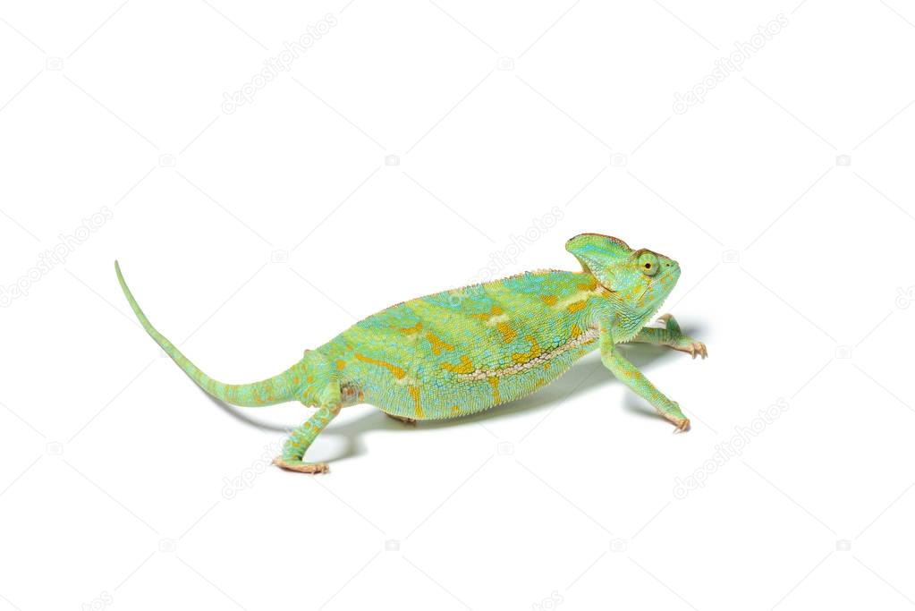 close-up view of exotic chameleon isolated on white