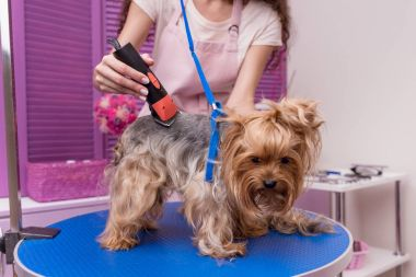 groomer trimming dog