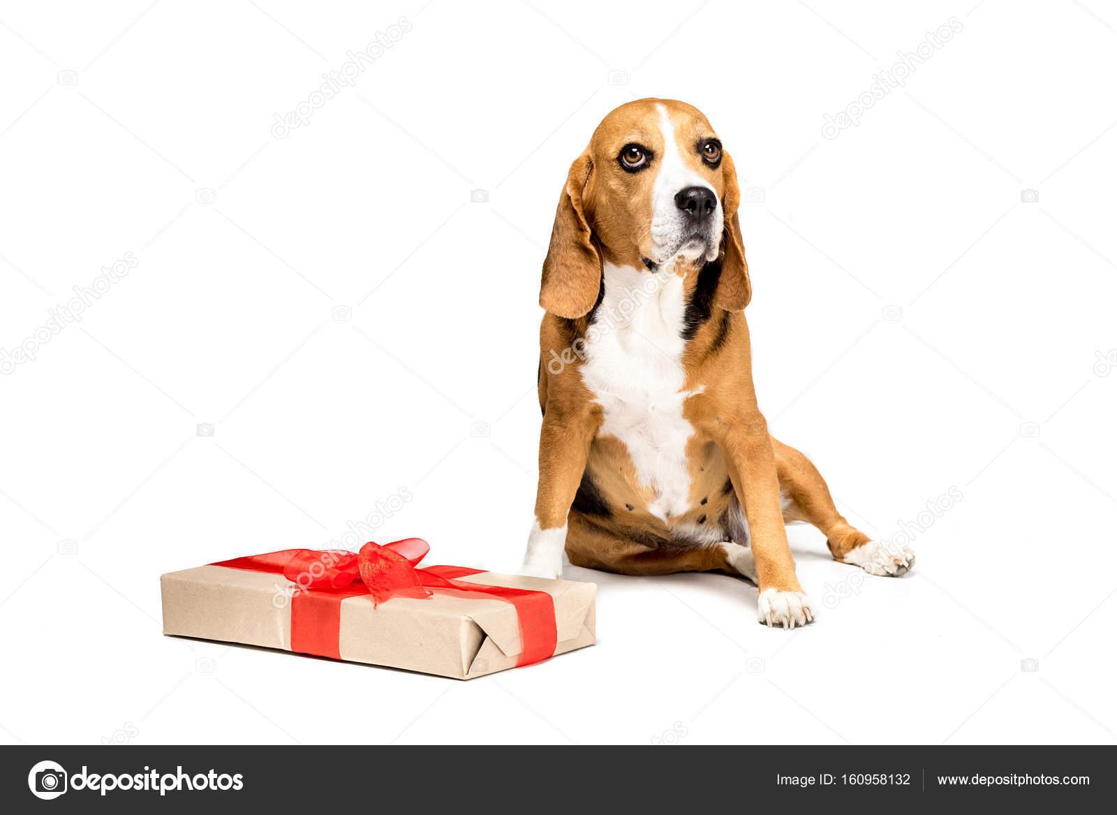 dog with present box stock photo allaserebrina 160958132