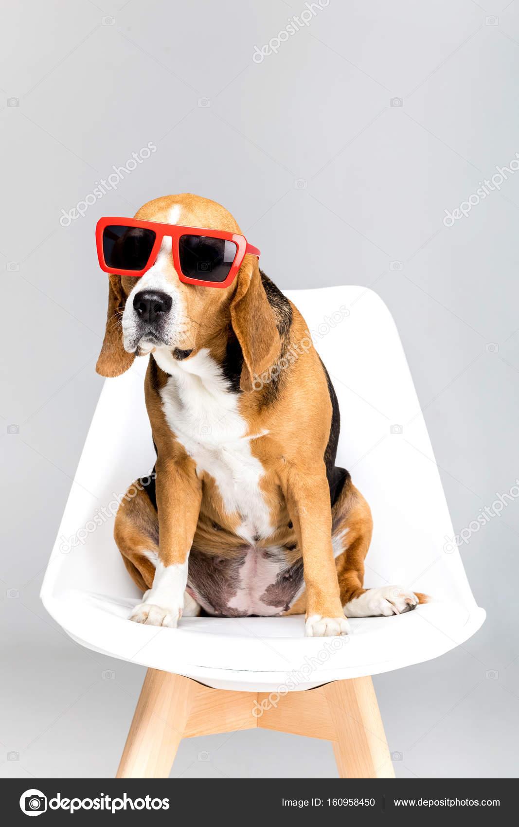 Gafas — Beagle © De Sol Perro Fotos Stock Allaserebrina160958450 En W2ED9IYH