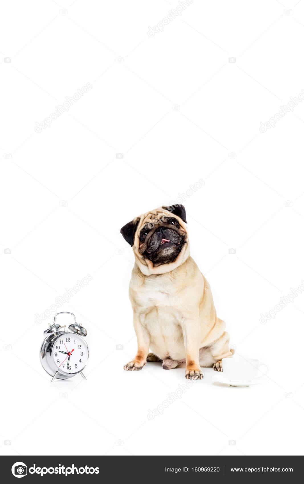 chien pug avec radio r veil photographie allaserebrina 160959220. Black Bedroom Furniture Sets. Home Design Ideas