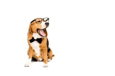 yawning dog in eyeglasses