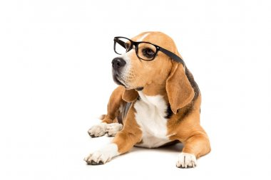 Sad beagle dog in eyeglasses lying and looking away, isolated on white stock vector