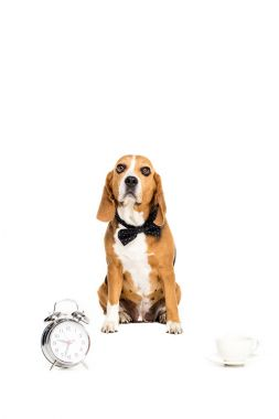 Beagle dog in bow tie sitting near alarm clock and coffee cup, isolated on white stock vector