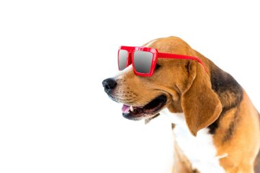 Portrait of stylish beagle dog in red sunglasses, isolated on white stock vector