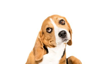 funny beagle dog