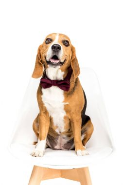 Beagle dog in bow tie sitting on chair, isolated on white stock vector