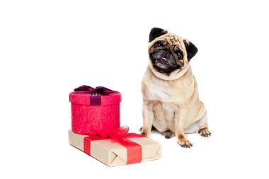 pug dog with gifts