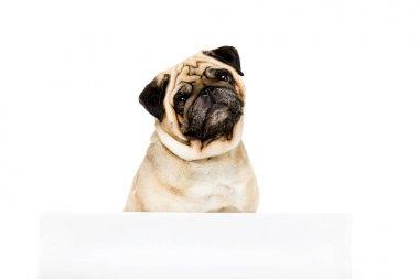 pug dog with template