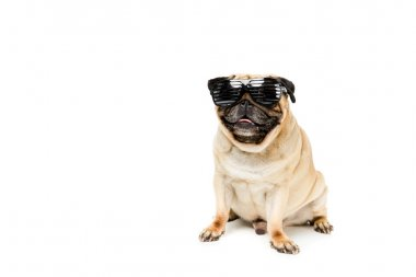 Studio shot of stylish pug dog in sunglasses, isolated on white stock vector