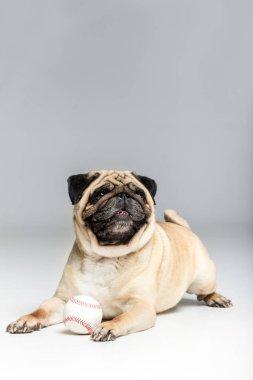 pug dog playing with ball