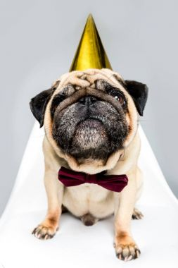 Pug dog in party hat and bow tie sitting on chair, isolated on grey stock vector