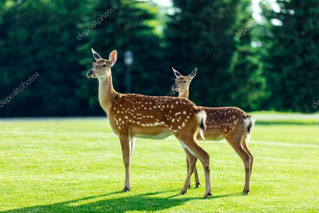 Herd of beautiful young brown deer standing on green meadow in forest stock vector