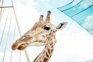 Low angle view of beautiful reticulated giraffe against sky in zoo stock vector