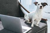 Jack russell terrier dog sitting on armchair with laptop