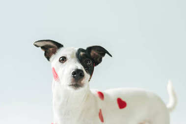 funny jack russell terrier dog in red hearts, on white