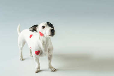 Jack russell terrier in red hearts for valentines day, on white