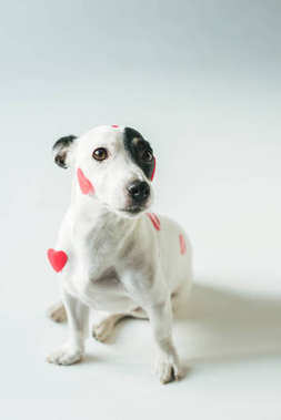 Jack russell terrier dog in red hearts for valentines day, on white