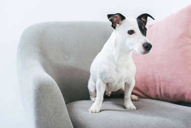 Jack russell terrier dog sitting on armchair with pillow