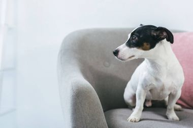 Jack russell terrier dog sitting on armchair