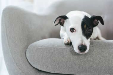 sad jack russell terrier dog lying on armchair