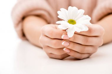 cropped view of woman with natural manicure holding daisy, isolated on white