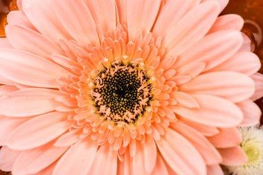 close up view of pink gerbera flower