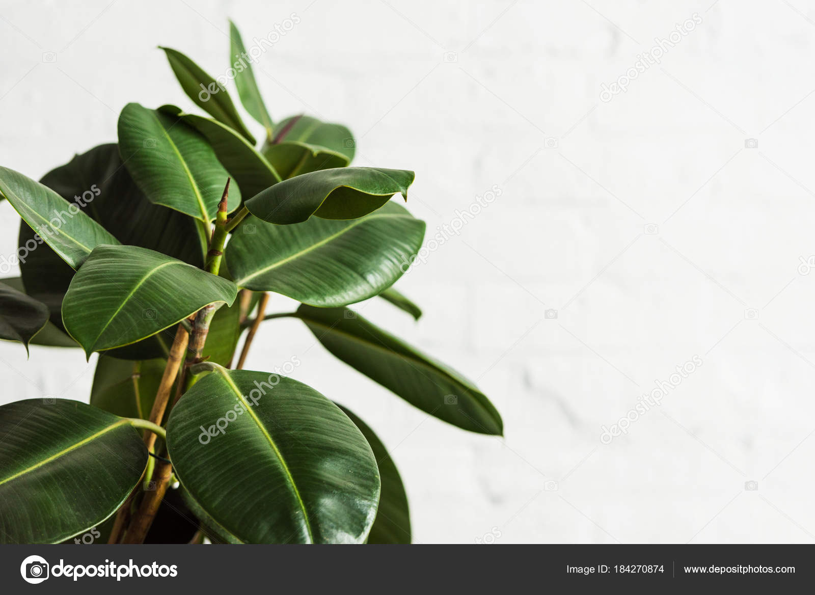 Rubber Fig Ficus Elastica Plant Green Leaves White Wall U2014 Stock Photo