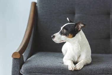 jack russell terrier dog lying on sofa at home