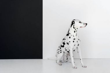 side view of one cute dalmatian dog sitting near black and white wall