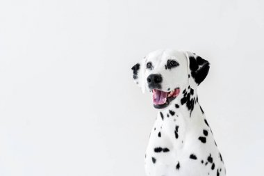 one cute dalmatian dog with open mouth looking away isolated on white